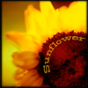 aimeelicious: (sunflower_byeyesthatslay)
