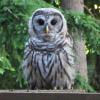 tiggymalvern: (owl stare)