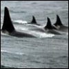 jaunthie: (orcas on the hunt)