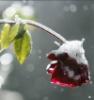 jaunthie: (snow rose)