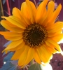 cassidyrose: (yellow sunflower in garden)