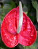 twisted_miracle: (anthurium erect)