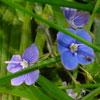 radegund: (tiny-blue-flowers)