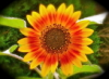 adoptedwriter: (best sunflower pic) (Default)