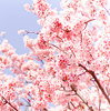 karmik: (nature: cherry blossoms)