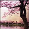 katajainen: a blossoming cherry tree by lakeside (Default)