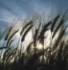 flakedice: (sun-wheat)