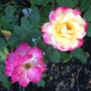alexmegami: a pink and yellow pair of roses (gardening, roses)