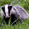 andygates: (badger)