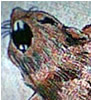 magicelli: (rat)