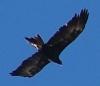 stellar_muddle: (eagle)