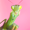 mantidae: (praying mantis)