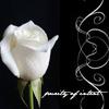 sartorias: (white rose)