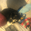 babyrodent: It's my long-haired tuxedo cat Belle with Captain America (Default)