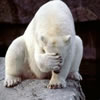 khaosworks: (Polar Bear Facepalm)