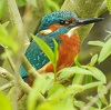 jamethiel: A common kingfisher sits on a branch with a background of green foliage. (Kingfisher)