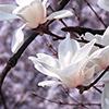 magic_art: (spring blossoms)