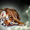 still_lost: (sleepy tiger)