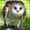 vrisanfra_import: (barn owl)