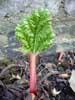 juliet: Tiny baby shoot of rhubarb (baby rhubarb!)