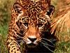 wackybutton: (leopard)