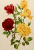 roselaurel: ()