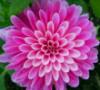 mamagotcha: (flower)