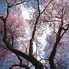 rio_luna5: (cherry tree)