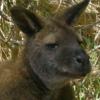 shokaku_2: (Wallaby)