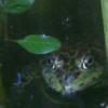 setsuled: (Frog Leaf)