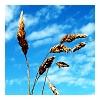 ahundredindecisions: (wheat)