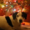 papoose: (Christmas Puppy)
