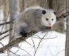 papoose: (Opossum)