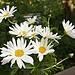 alineskirt: (daisies)