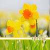 sitella: (тюльпаны)