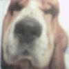 sabremeister: (Basset hound)