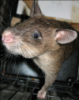 kingrat: (Rat Wants Out)