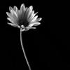 glasslogic: (AA Flower 1)