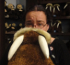 sweetmusic_27: A photo of me holding up a stuffed toy walrus so it looks like I have tusks. (Lolrus)