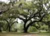 rubibees: (live oak)