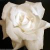 rubibees: (healing rose)