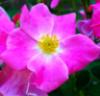 rubibees: (wild rose)