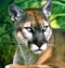 rubibees: (panther)