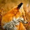 museaway: (fox)