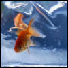 hermionesviolin: an orange goldfish in water (underwater)