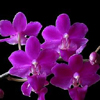 hermionesviolin: purple orchids (spring, orchid)