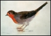 nightdog_barks: English robin on a white background (English robin)