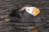 naiad1: (puffin)
