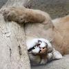 invncble: (puma sleeping)