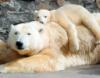 shadeofnight: (polarbear cub)